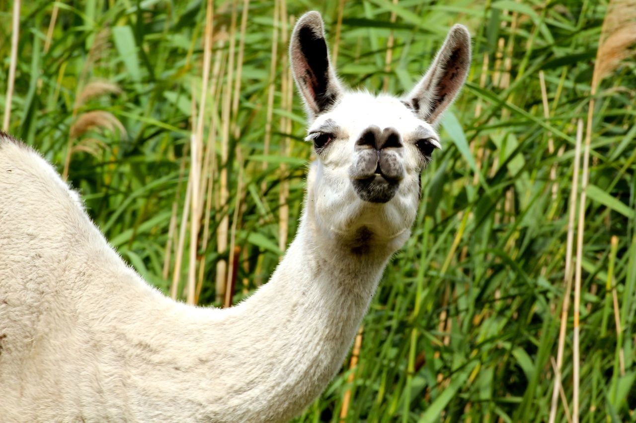 Beautiful stock photos of llama, Animal Themes, Animals In The Wild, Day, Field