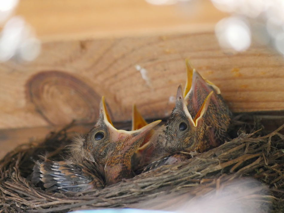 Blackbird hatchlings Animals Birds Blackbird Blackbird Hatchlings Hatchling Hungry Macro Photography Nature Outdoors Young Animal The Great Outdoors - 2017 EyeEm Awards Animal Themes EyeEm Best Shots Exceptional Photographs Place Of Heart Taking Photos Close-up Macro No People Togetherness Bird Nest