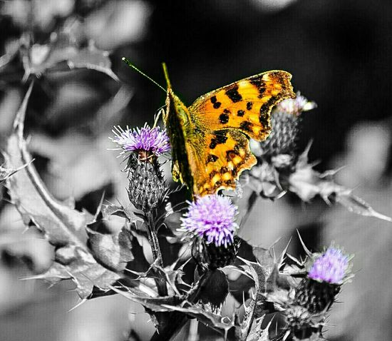 A flutterby.....for my next Challenger on my 5 Shot Colour Splash Challenge I'd love it if you @CescaMarie would be willing to post 5 coloursplashes in 5 days challenging 1other person per day....you up for it Cesca? Butterfly Colour Splash Taking Photos