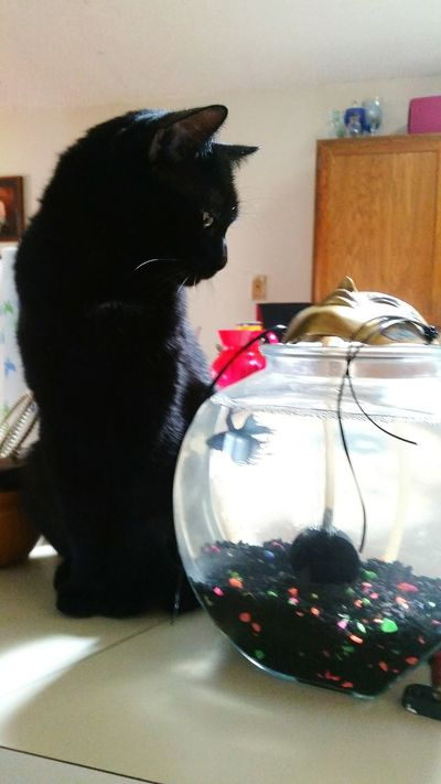 Eyem Pets TheBlack Cat & The Beta Fish Light And Shadow Taking Photos Kitchen Gossip Colorado Springs CO USA