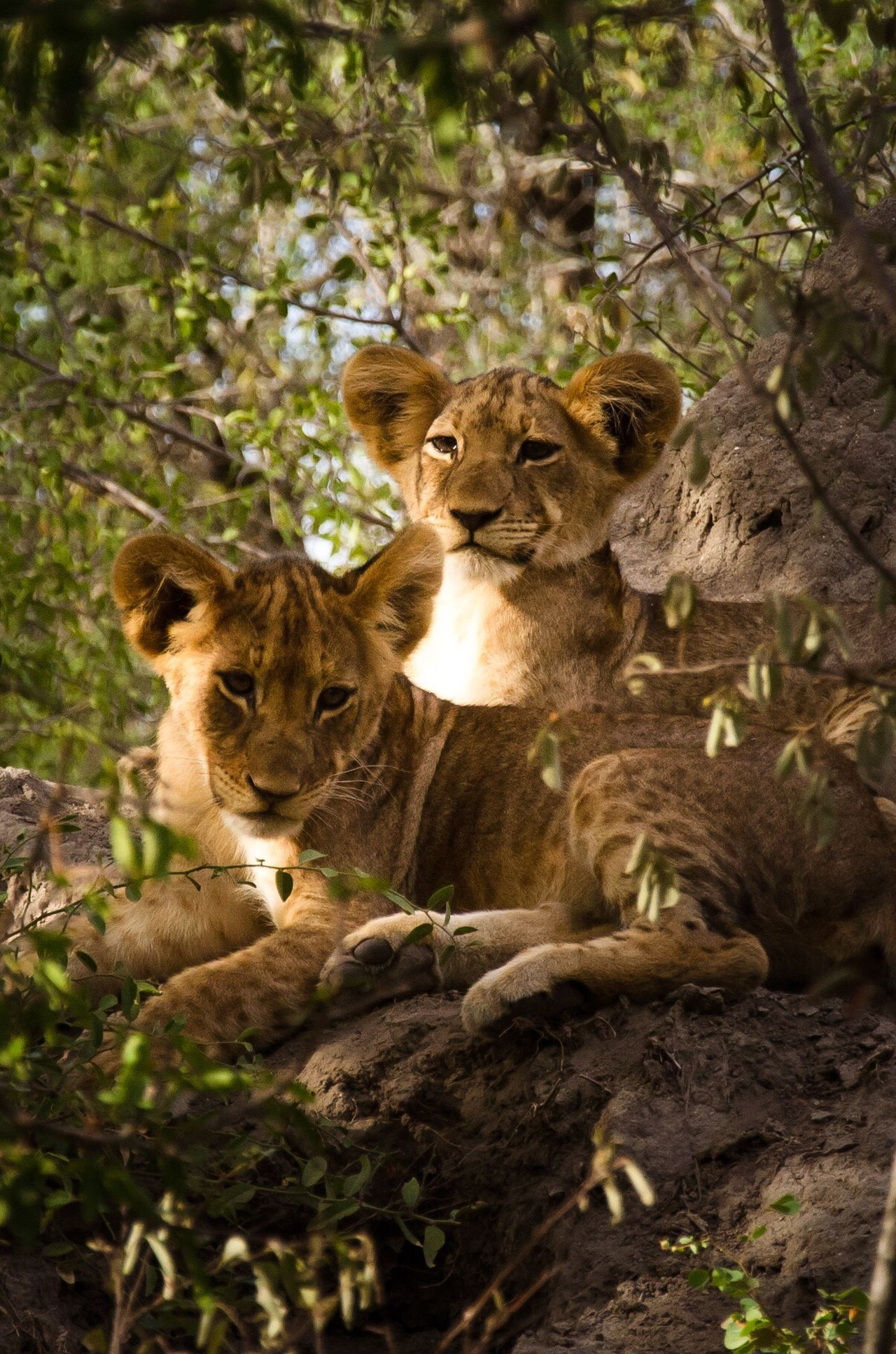 south africa Animals In The Wild Lion Baby