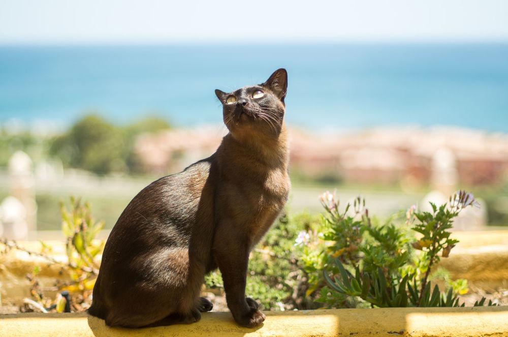 Animal Brown Burmese Brown Cat  Burmese Cat Cat Cat And Sun Cat, Pets, Animal Pet Sun
