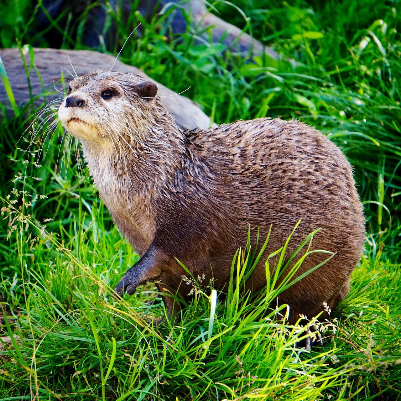 Animal Themes One Animal Grass Animals In The Wild Field Animal Wildlife No People Mammal Outdoors Nature Day Close-up Otter Otters Animal Head  Nature Animals In The Wild Wildlife Animal Photography