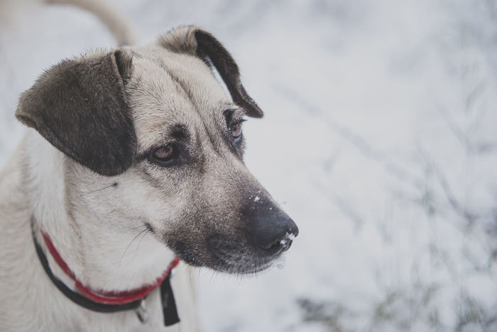 Snow In My Nose | My wolf hound's outdoor portraiture Animal Themes Close-up Cold Temperature Dog Grey Tones Pet Portrait Snowing Weather Winter Winter Tones Wolf Hound