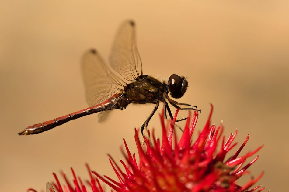 Heidelibelle Common Darter Darter Autumn Focus On Foreground Ricinus Wunderbaum Red Red Flower Insect Beauty In Nature Nature One Animal Wildlife Flower Beauty In Nature Nature Animals In The Wild Macro Macro_collection