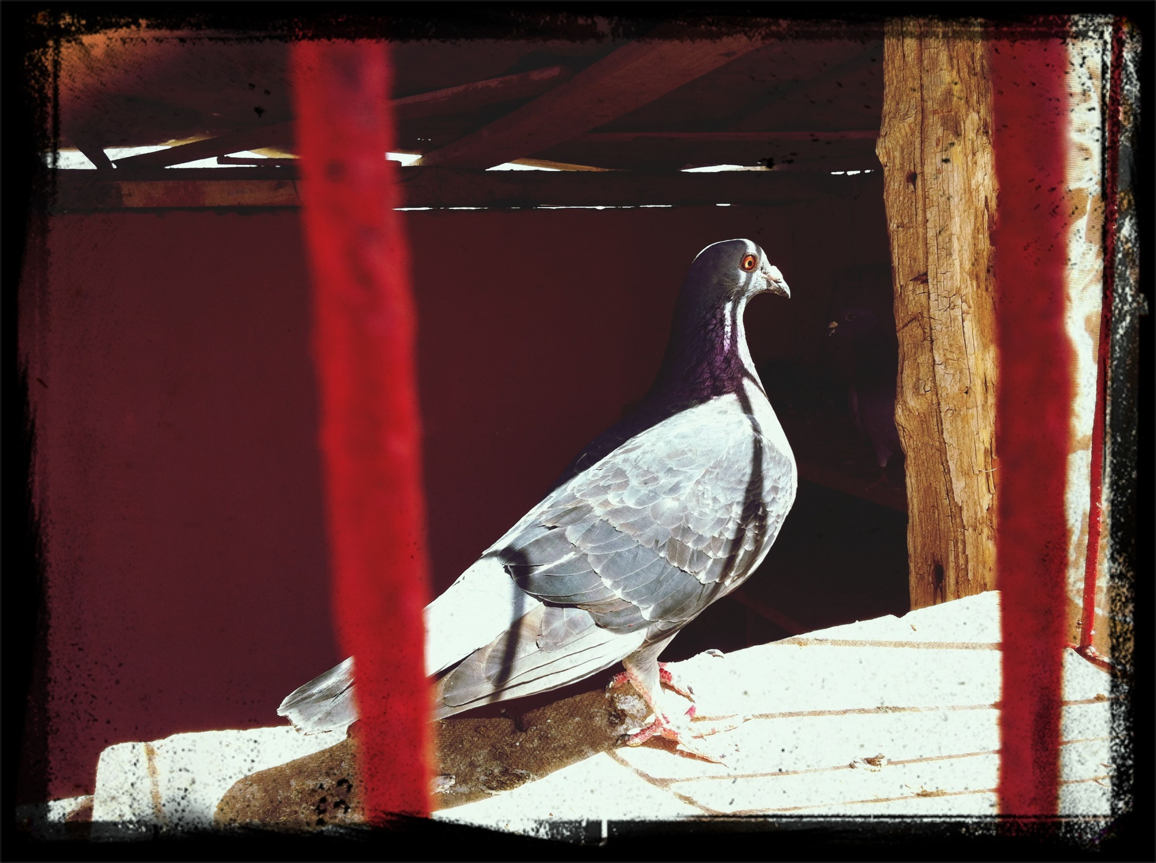 bird, animal themes, animals in the wild, wildlife, one animal, perching, transfer print, auto post production filter, pigeon, beak, close-up, full length, animals in captivity, focus on foreground, outdoors, no people, two animals, day, zoology, railing