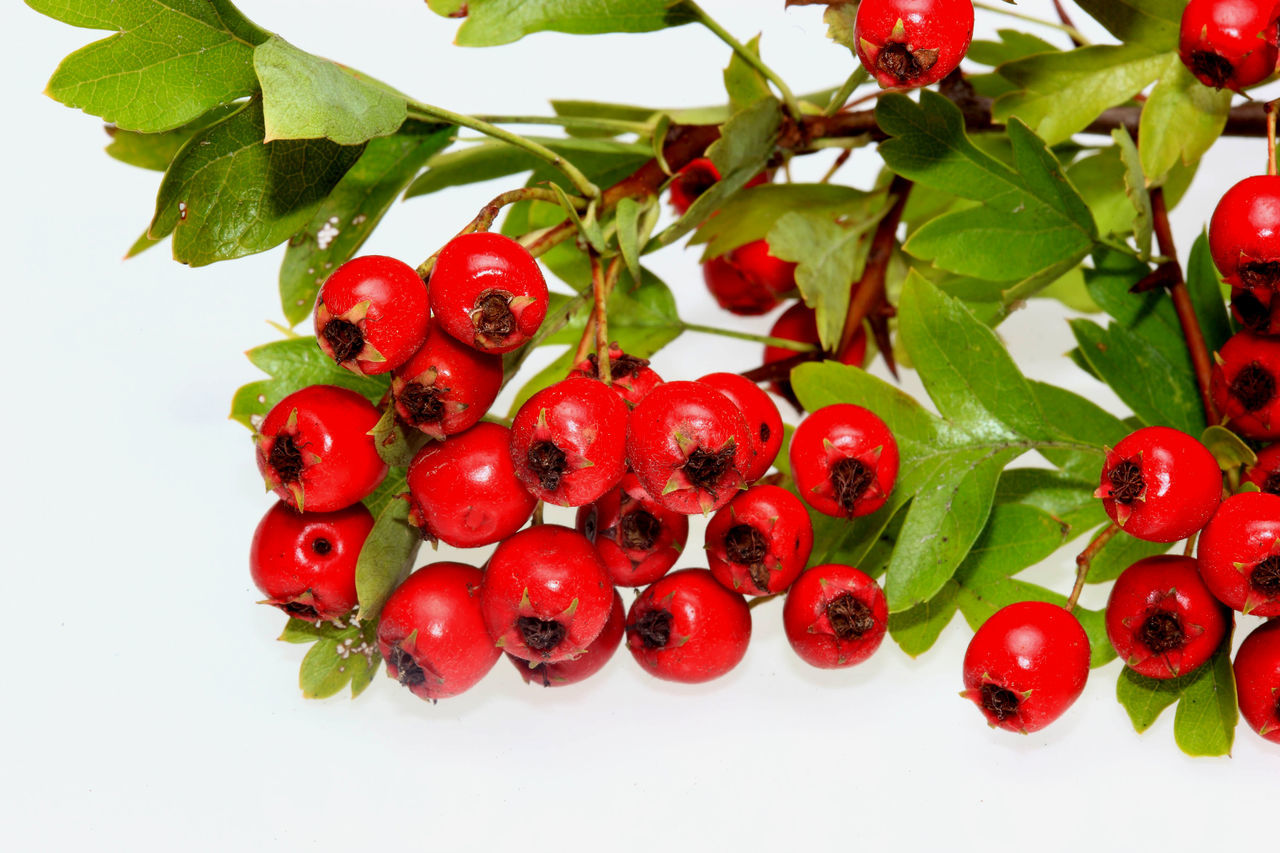 red ripe Hawthorn berries Agriculture Berries Close-up Day Food Food And Drink Freshness Fruit Hawthorn Hawthorne Healthy Eating Juicy Nature No People Red White Background