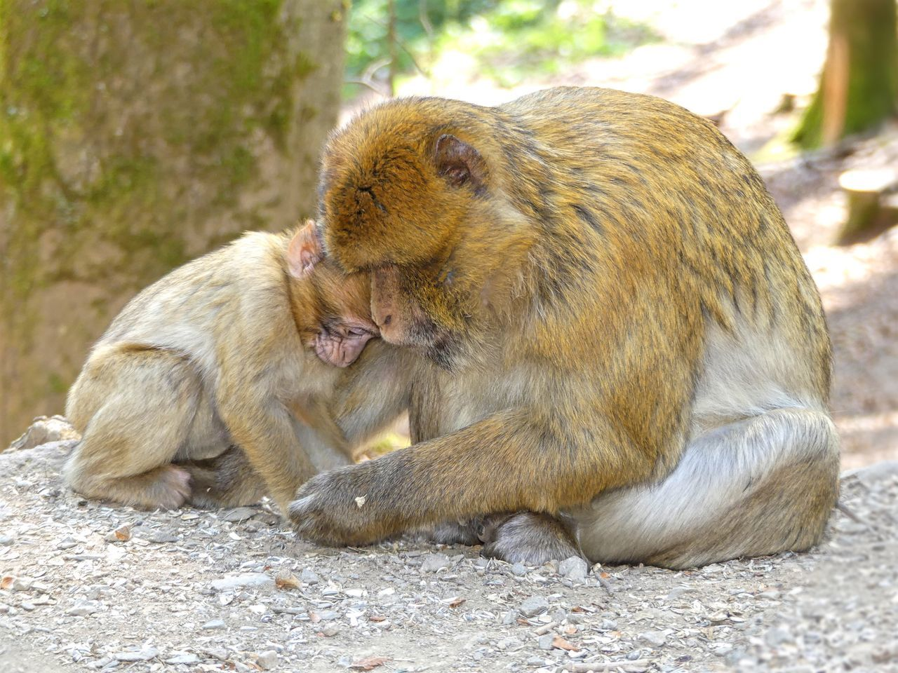 Monkey Love Animal Themes One Animal Animals In The Wild Wildlife Rock - Object Mammal Focus On Foreground Full Length Holding Zoology Zoo Day Outdoors Animal Hair Animal Head  No People Looking Motherlove Fatherlove Father & Son Father And Daughter