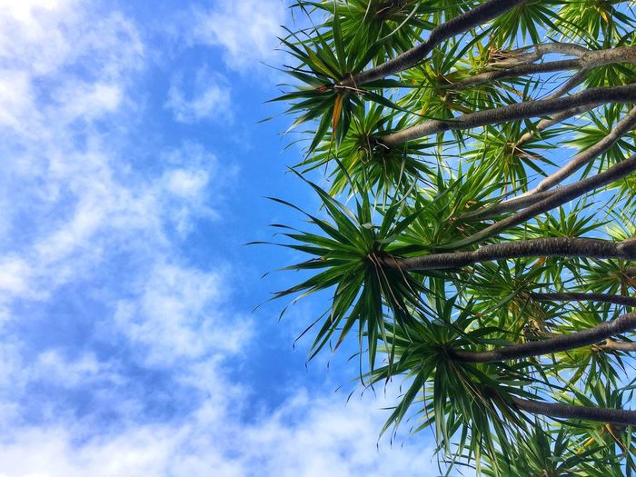 Sky Nature Low Angle View Growth Beauty In Nature Tree Cloud - Sky Day No People Outdoors Blue Palm Tree Tranquility Scenics Leaves Pointy Leaves Summer Cebu