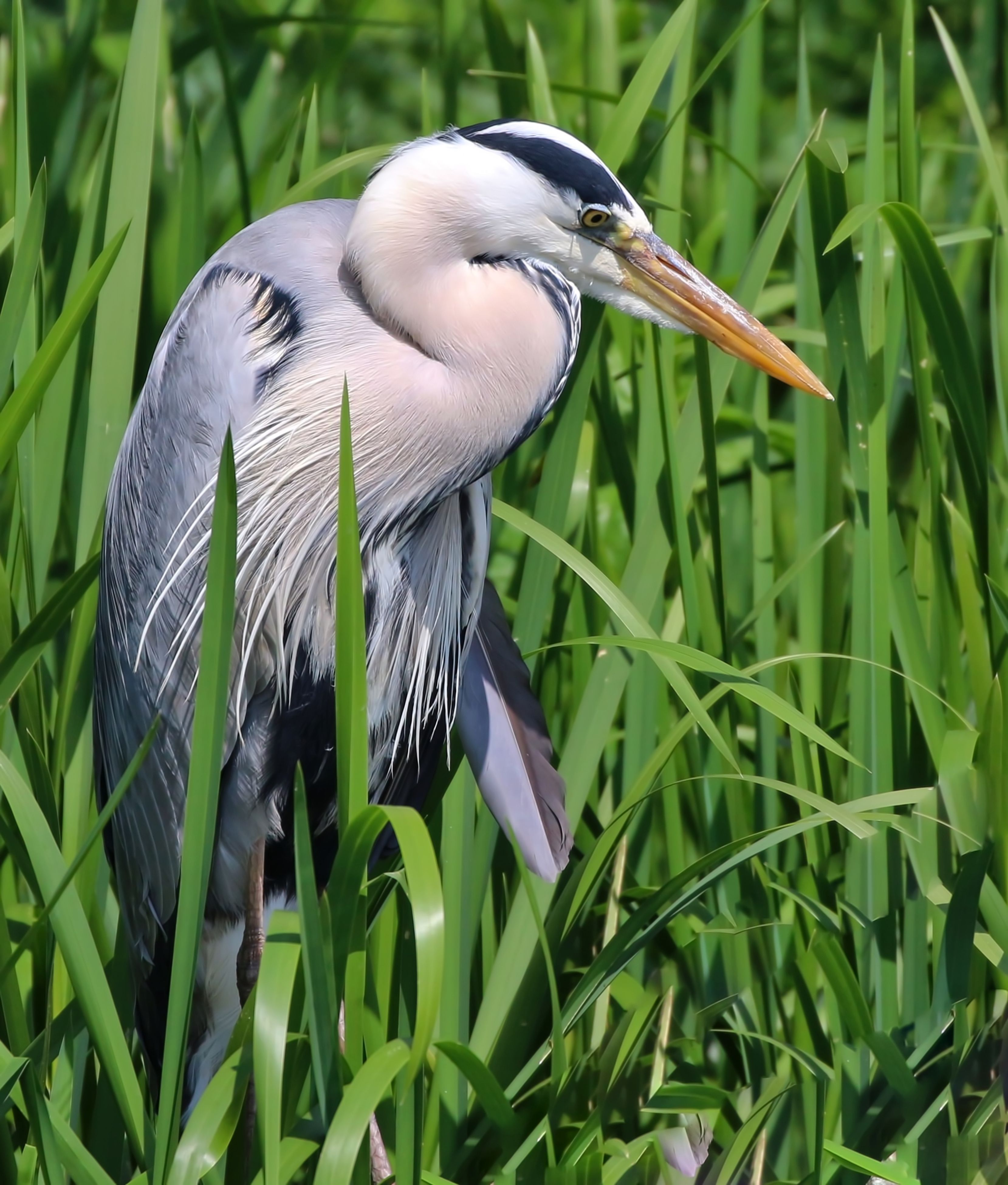 Gray Heron In Field During Sunny Day