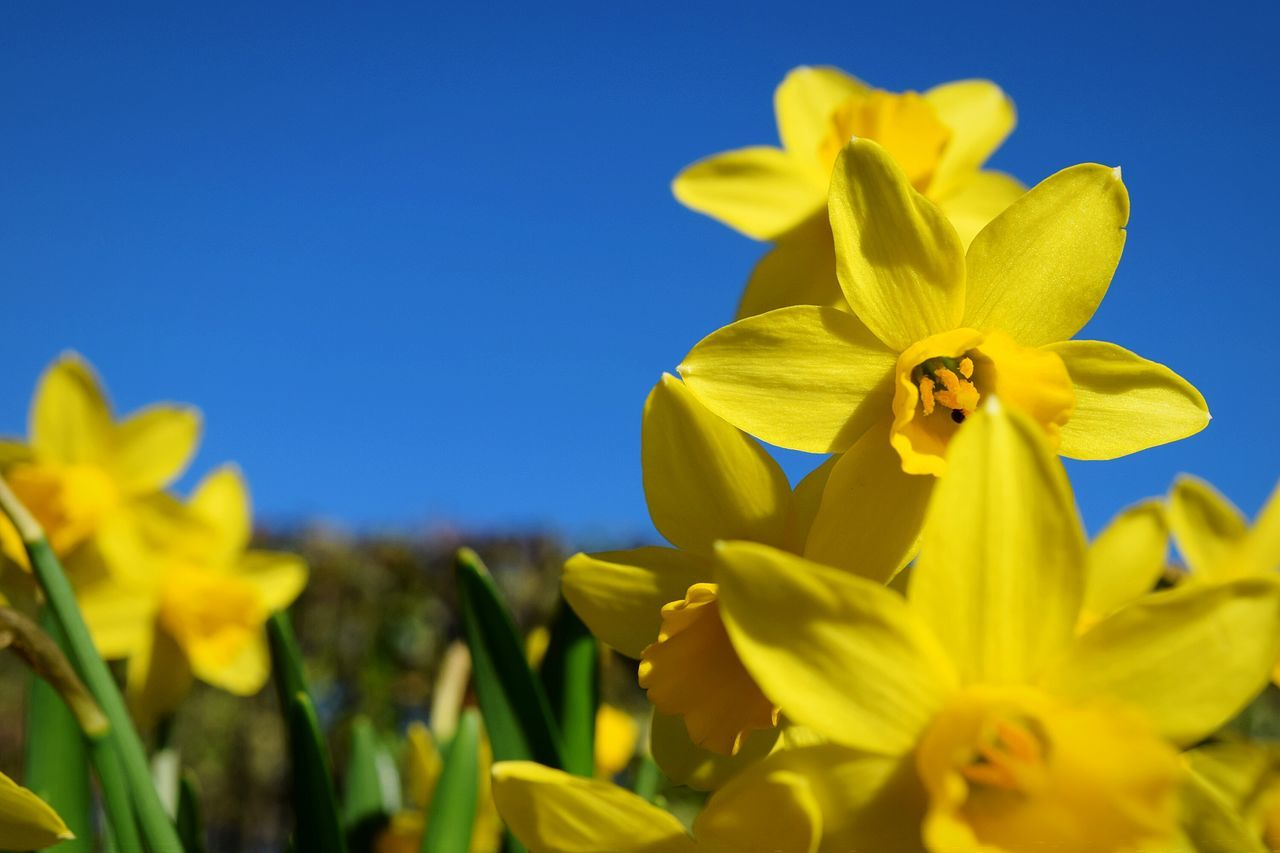 Close-Up Of Daffodils Blooming Against Clear Sky