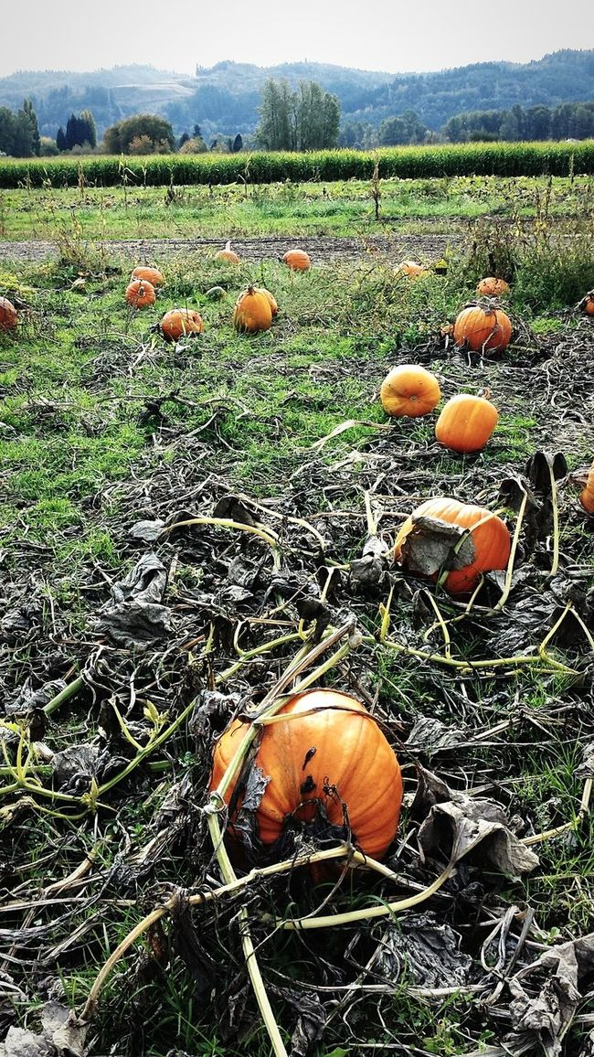 Pumpinking Pumkins Pumkinpicking🎃 Pumkinpatch Cold Oranges Orenge Colors. Emaginary Relaxing Empty