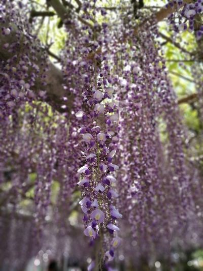 Flower Blossom Fragility Nature Wisteria Lavender Colored Purple Growth Beauty In Nature Botany Springtime Selective Focus Tree Day Hanging Plant Close-up No People Freshness Scented