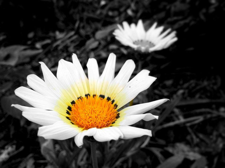 Flower Nature Photography Blackandwhite