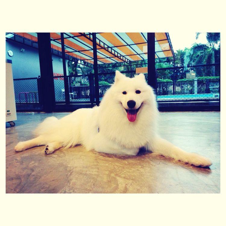 winter Dogoftheday Samoyed