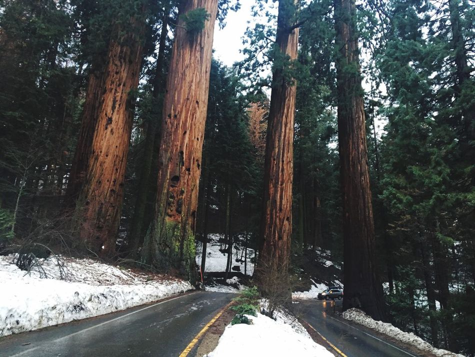 Sequoia National Park Sequoia IPhone Photography Iphonephotography IPhoneography Snow Road Winter Transportation Tree Nature Cold Temperature The Way Forward Day Tranquility No People Outdoors Beauty In Nature Sky