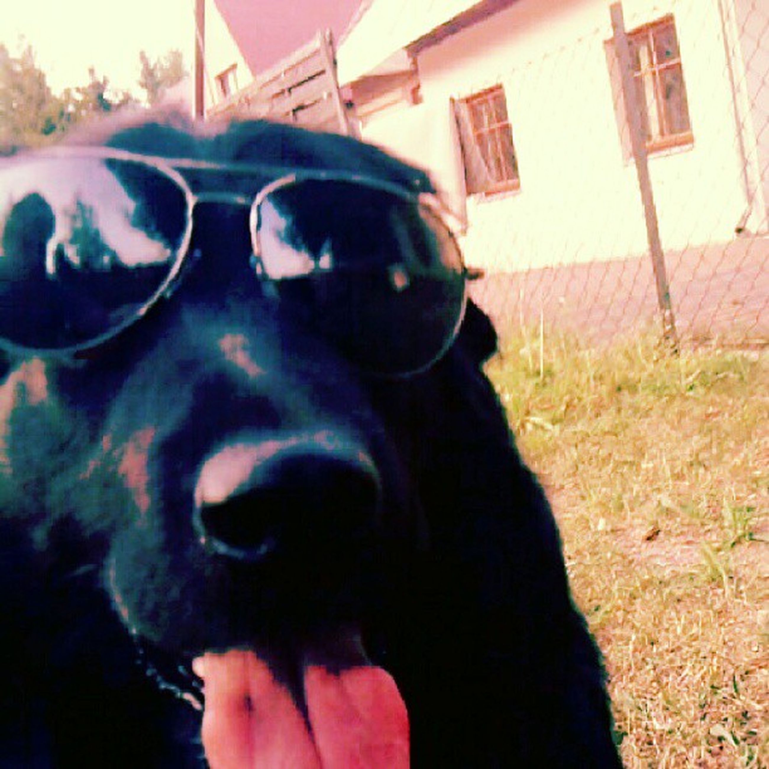 portrait, looking at camera, domestic animals, close-up, black color, built structure, architecture, building exterior, headshot, sunglasses, front view, dog, day, outdoors, sunlight, grass, standing, field