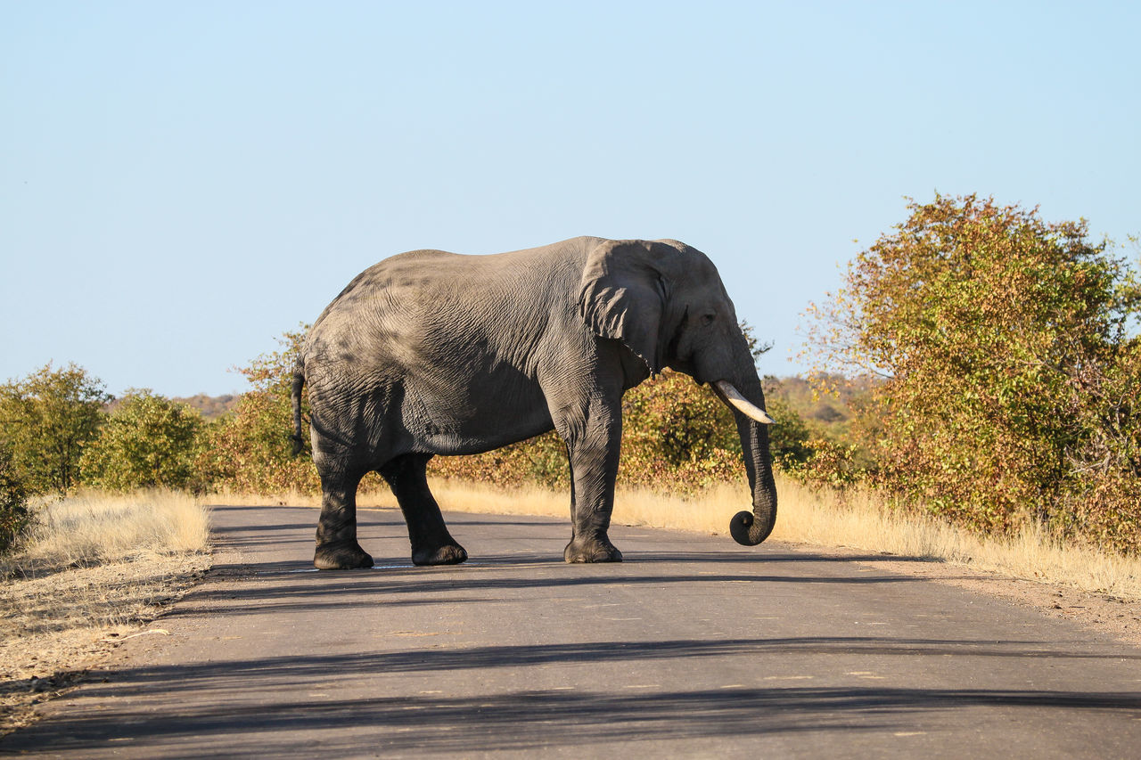 African Elephant Animal Themes Animal Wildlife Animals In The Wild Clear Sky Copy Space Day Elephant Full Length Mammal Nature No People One Animal Outdoors Road Safari Animals Shadow Sky Sunlight Tree Tusk Walking