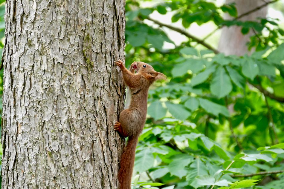 Beautiful stock photos of squirrel, Animal Themes, Animals In The Wild, Brown, Climbing