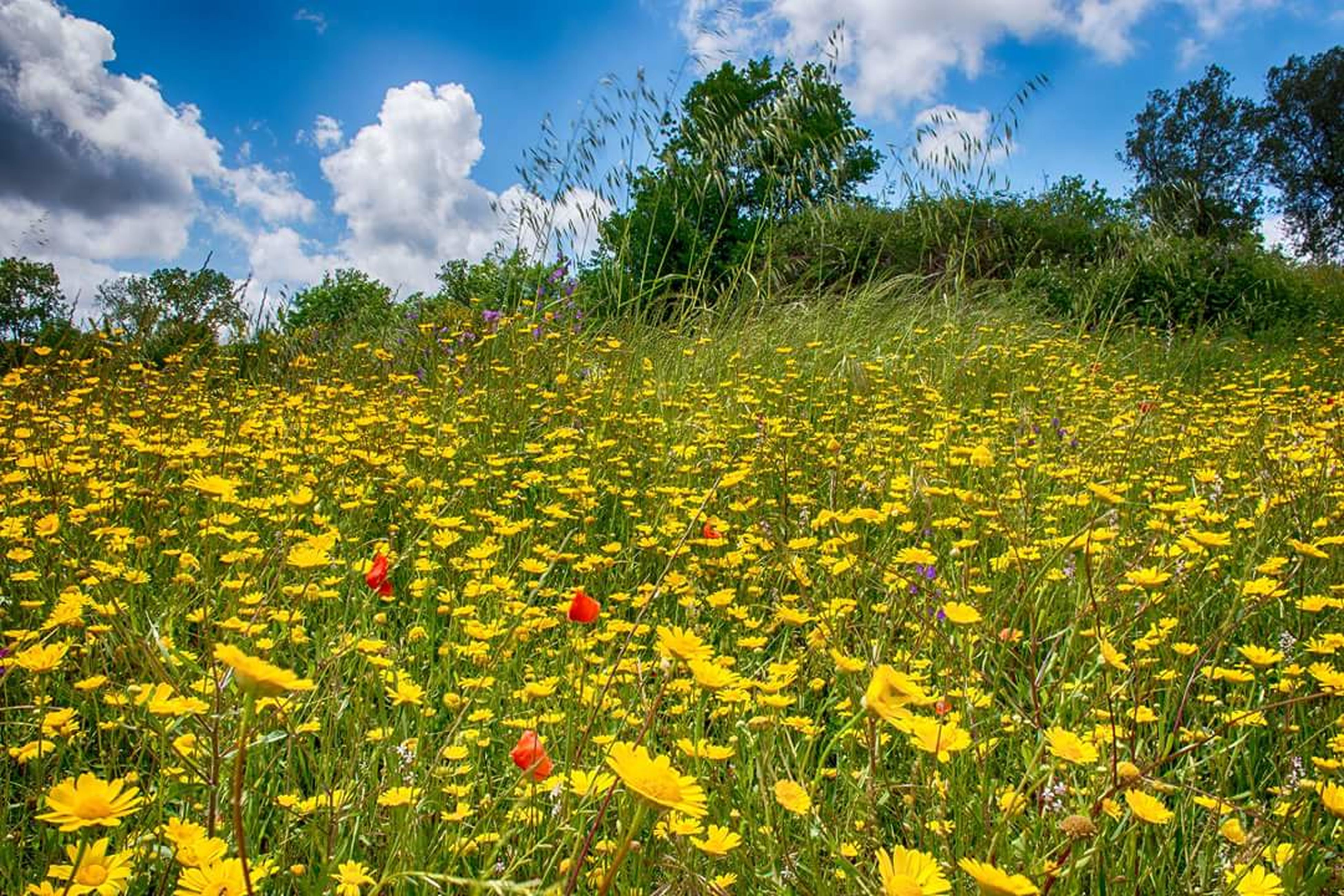 sky, field, flower, growth, yellow, beauty in nature, agriculture, cloud - sky, freshness, nature, rural scene, tranquility, tranquil scene, landscape, plant, cloud, scenics, farm, abundance, grass