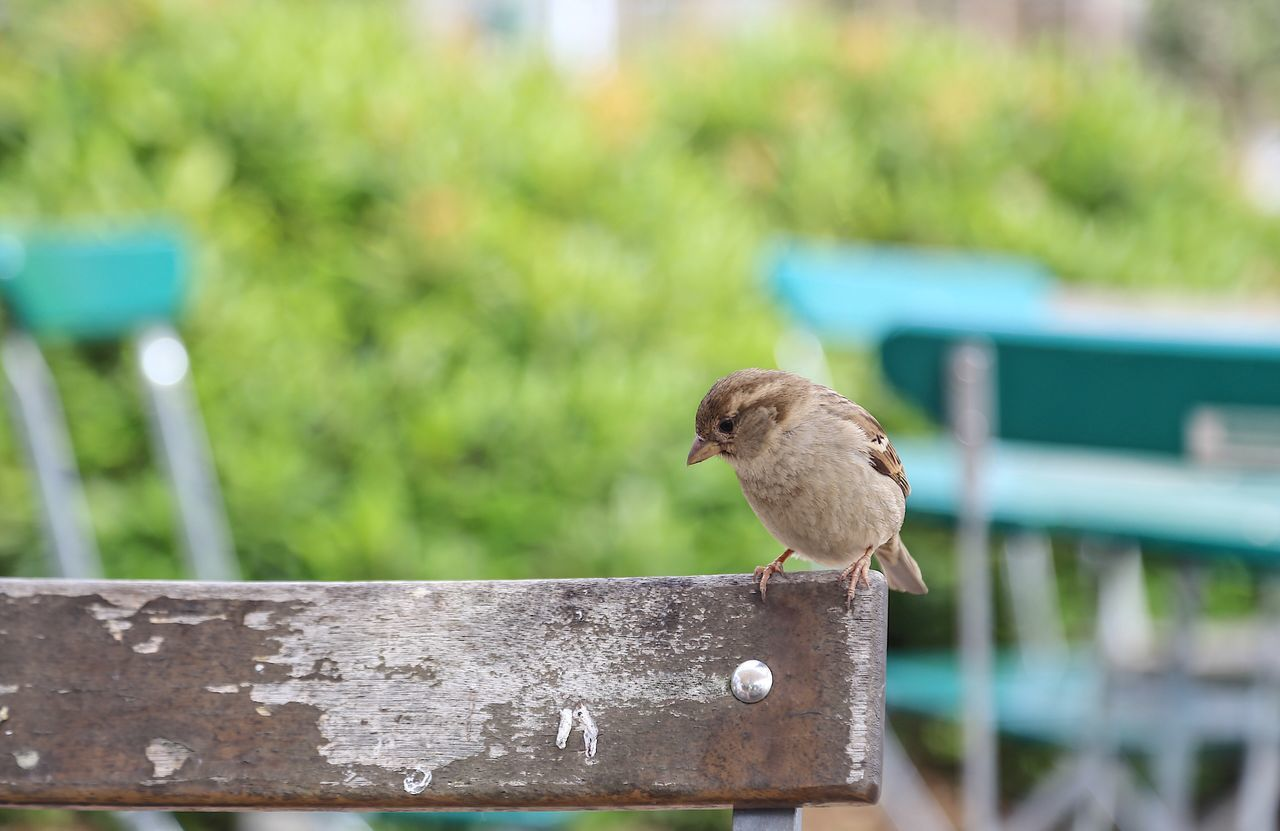 bird, focus on foreground, animals in the wild, animal themes, animal wildlife, day, one animal, outdoors, perching, no people, nature, sparrow, close-up