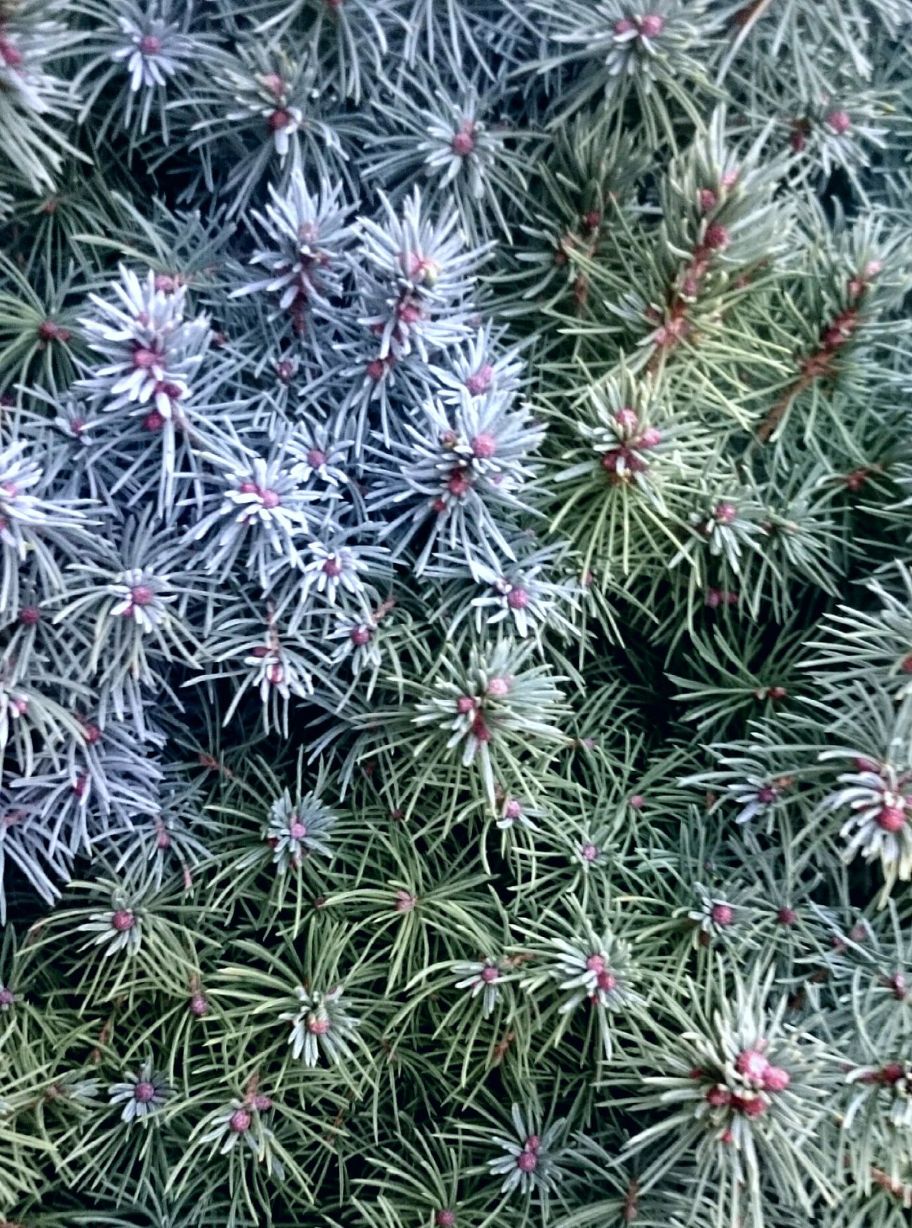 Backgrounds Growth Plant Outdoors Tree Nature Leicadualcamera HuaweiP9 Full Frame No People High Angle View Close-up Spiky Day Needle - Plant Part