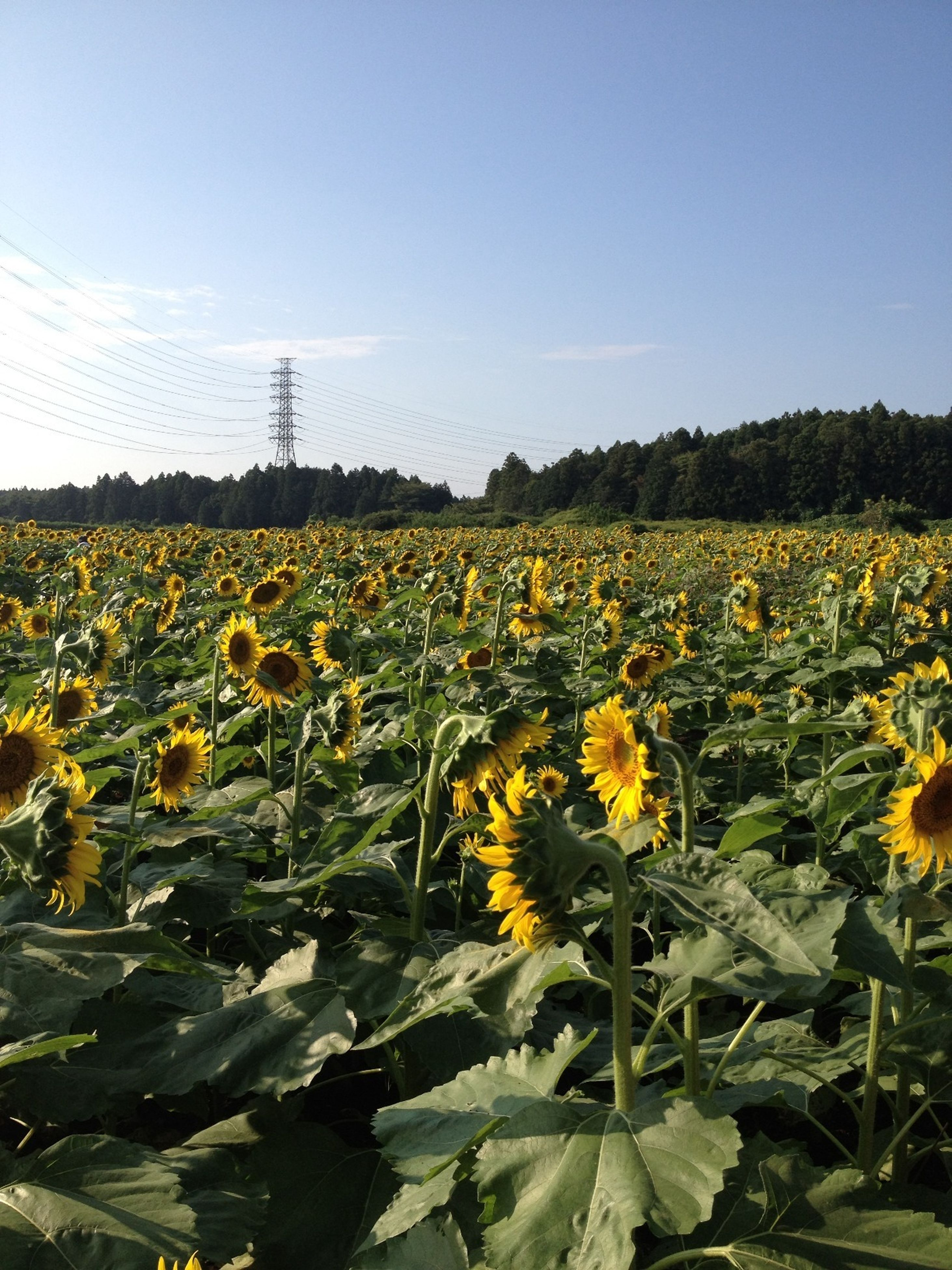 flower, field, yellow, growth, rural scene, agriculture, beauty in nature, freshness, sunflower, landscape, nature, plant, farm, fragility, sky, crop, tranquil scene, tranquility, blooming, abundance