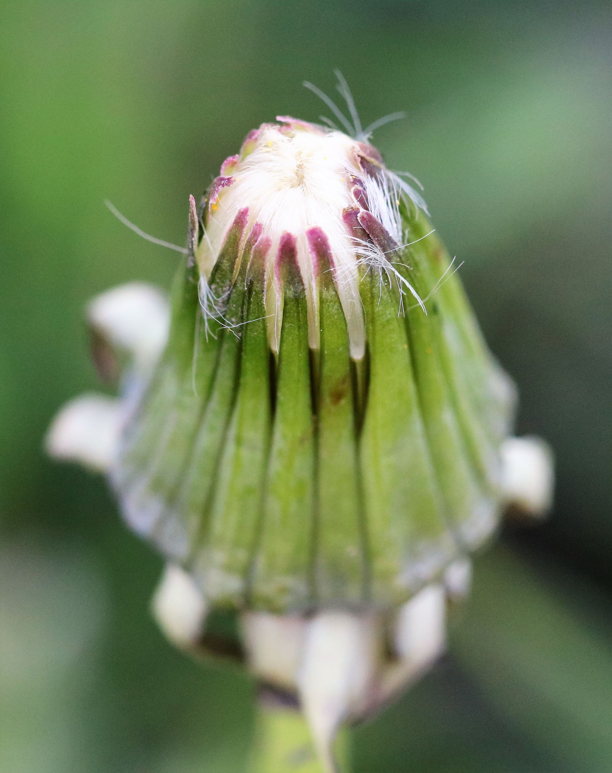 flower, fragility, freshness, close-up, growth, focus on foreground, beauty in nature, nature, single flower, plant, flower head, drop, selective focus, petal, green color, wet, leaf, water, outdoors, day