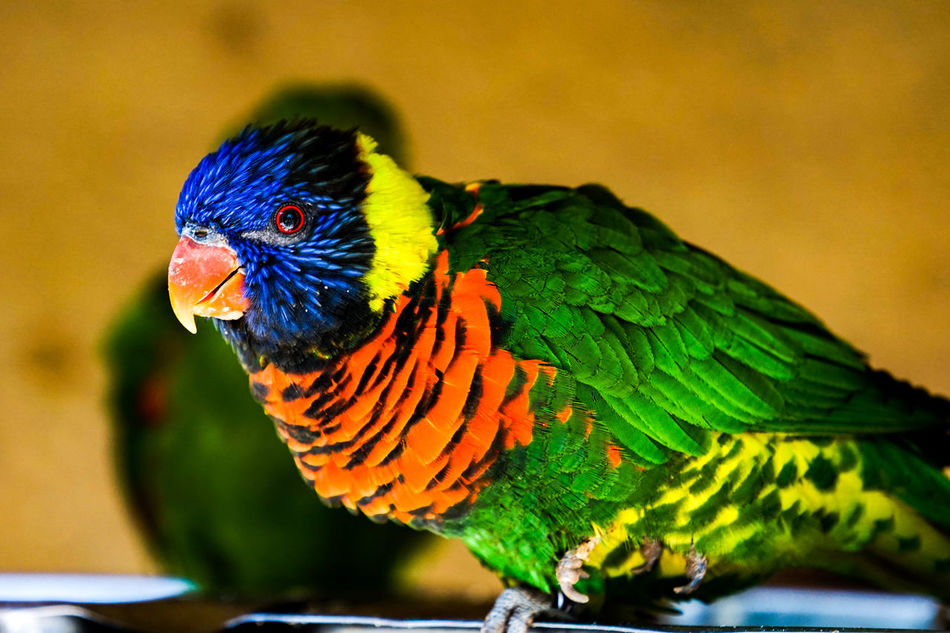 One Animal Parrot Animals In The Wild Animal Wildlife Bird Multi Colored Animal Themes Rainbow Lorikeet Nature No People Day Outdoors Beauty In Nature Colorful Colors Traveling Vogel Gran Canaria Sony A6000 Sony SEL70200F4G A6000 Animals In The Wild