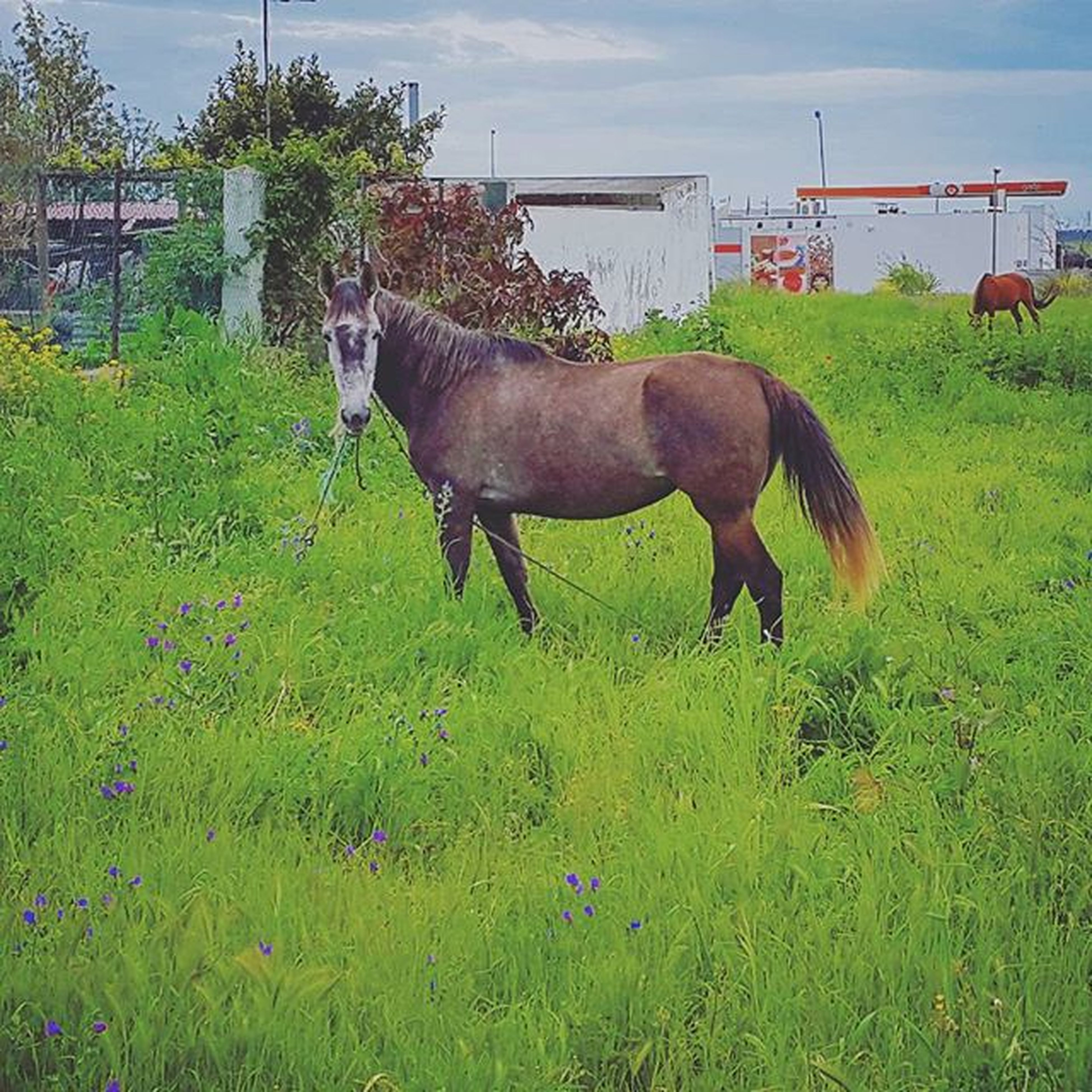 animal themes, domestic animals, grass, livestock, horse, field, mammal, grassy, grazing, herbivorous, sky, fence, cow, one animal, standing, green color, working animal, nature, two animals, rural scene