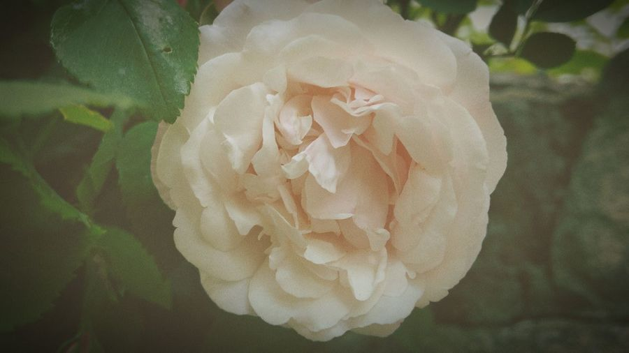 Nature Photography The Great Outdoors - 2016 EyeEm Awards Flower Rose - Flower Vintage Vintage Style Vintage Filter Vintage Flowers Vintage Roses Pastel Colors Pastel Flowers Rose Collection Pastel Rose