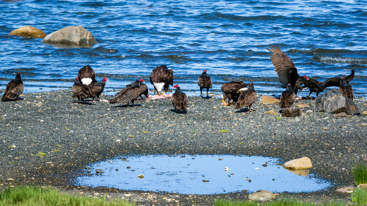 Animal Themes Animal Wildlife Animals In The Wild Bird Day Large Group Of Animals Nature No People Outdoors Perching Sea Turkey Vultures Water