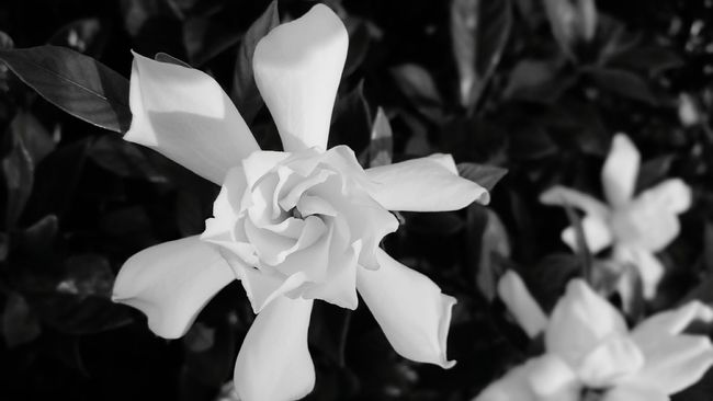 Flower Freshness Petal Close-up Gardenia Beauty In Nature Selective Focus Fragility Black & White For The Love Of Photography Fortheloveofblackandwhite TakeoverContrast Monochrome Photography