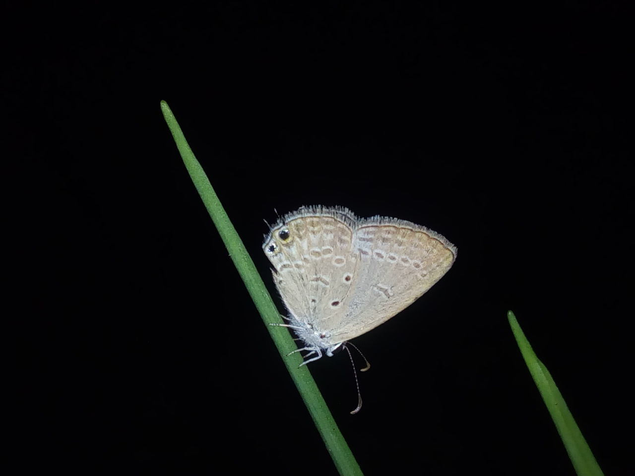 Night shot.. Studio Shot Black Background No People Close-up Nature Plant Butterfly Green Leaves Butterfly - Insect Butterfly On Leaf Butterfly Collection The Common Blue Common Blue Butterfly Polyommatus Icarus Icarus Perching Night Shot Fragility