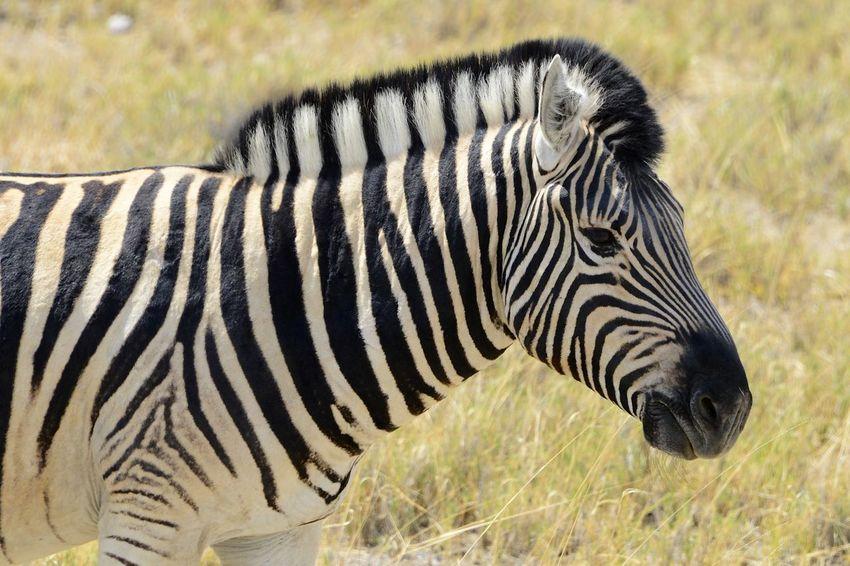 in Etosha National Park Namibia Hartmann's Zebra Hartmann's Mountain Zebra Namibia National Park Africa Animal Markings Animal Themes Animal Wildlife Animals In The Wild Close-up Etosha Etosha National Park Nature One Animal Outdoors Safari Safari Animals Safari Park Side View Zebra
