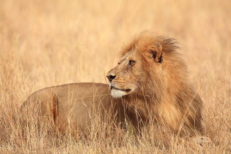 Beautiful stock photos of löwe,  Animal Behavior,  Animal Hair,  Animal Nose,  Animal Themes