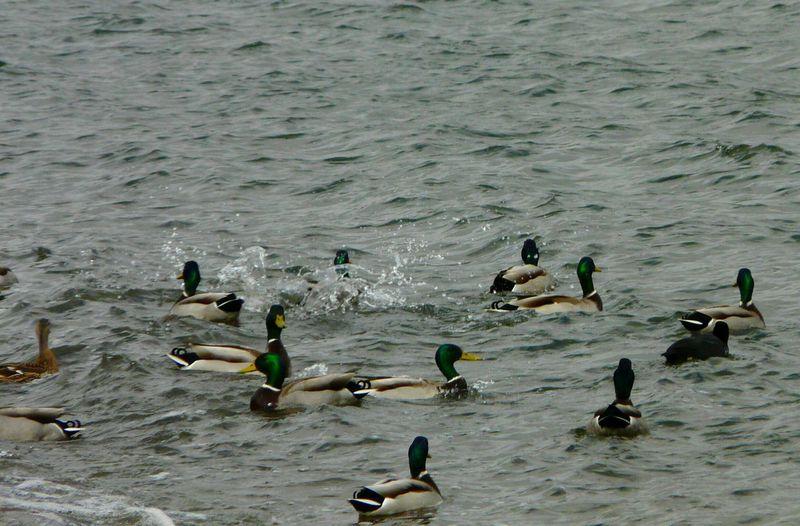 Ducking Muddle Chew Valley Lakes Relaxing Taking Photos Splashing Water Nature On Your Doorstep Animals