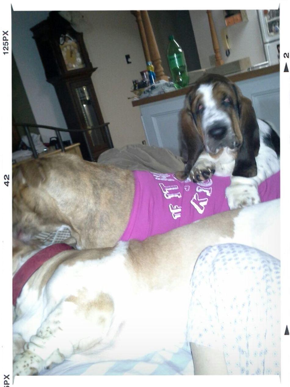 Big Boss Man of the House Bobes Pets Dogs Basset Hound Cute Pets Bassethounds