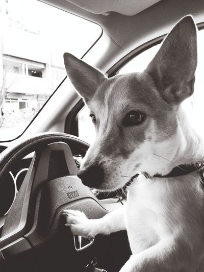 Max Takahashi Jackrussell Driving ?