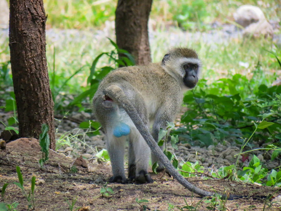 African Beauty African Nature Animal Themes Animal Wildlife Animals In The Wild Beauty In Nature Blue Balls Cercopithecidae Monkey One Animal Tanzania Tarangire Unusual Coloring Vervet Vervet Monkey Vervetmonkey Wildlife Check This Out Check It Out Check This Out! Checkthisout EyeEm Animal Lover EyeEm Nature Lover