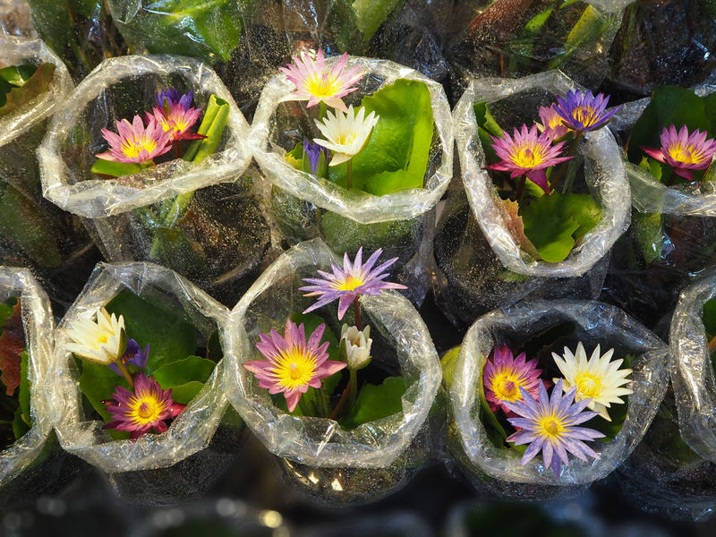 🍃🌷🍃 Colour Of Life Colorful Beauty In Nature Blooming A Bird's Eye View Street Photography Close-up Exceptional Photographs Flower Fragility Freshness Growing In Bloom Leaf Lotus Lotus Flower Market Market Stall Multi Colored Nature Petal Plant Still Life Tadaa Community Beautifully Organized