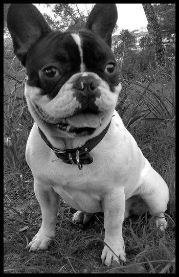 The Week On EyeEm Hello World Cuteness Love Puppy Love Frenchbulldog