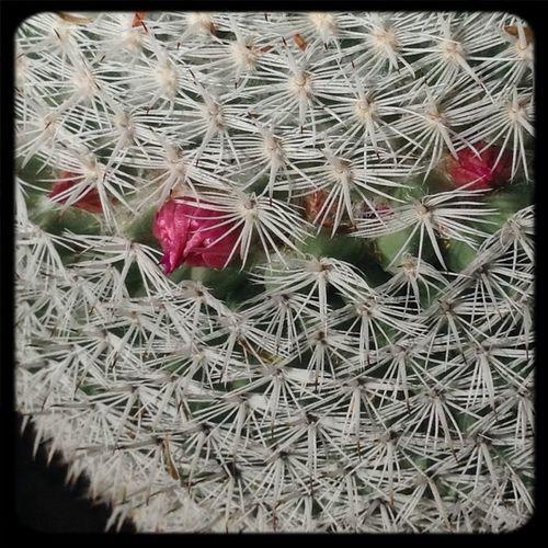 Espinas en flor!