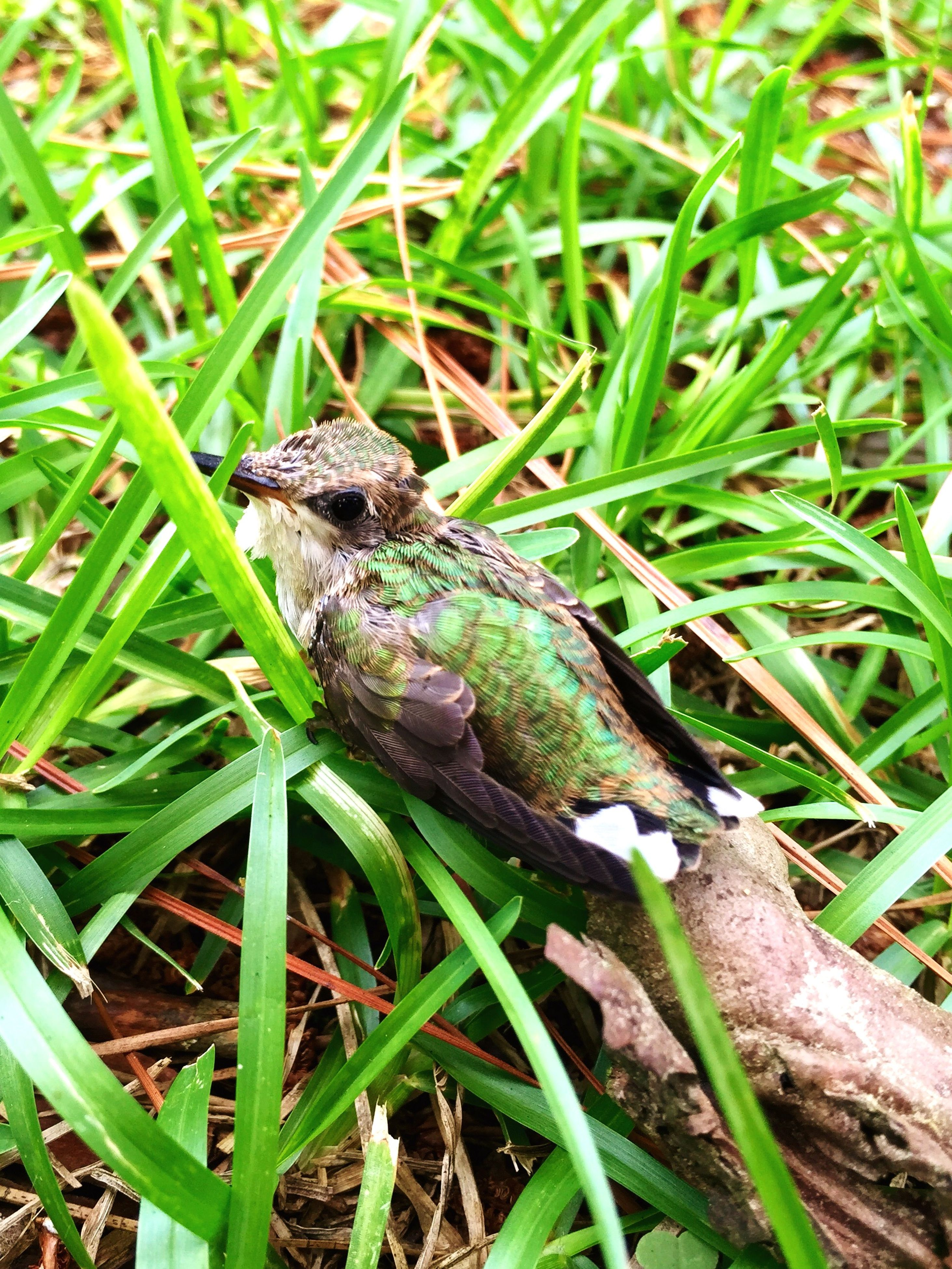 animal themes, animals in the wild, one animal, wildlife, reptile, grass, green color, lizard, frog, nature, field, amphibian, plant, close-up, full length, high angle view, side view, outdoors, day, grassy