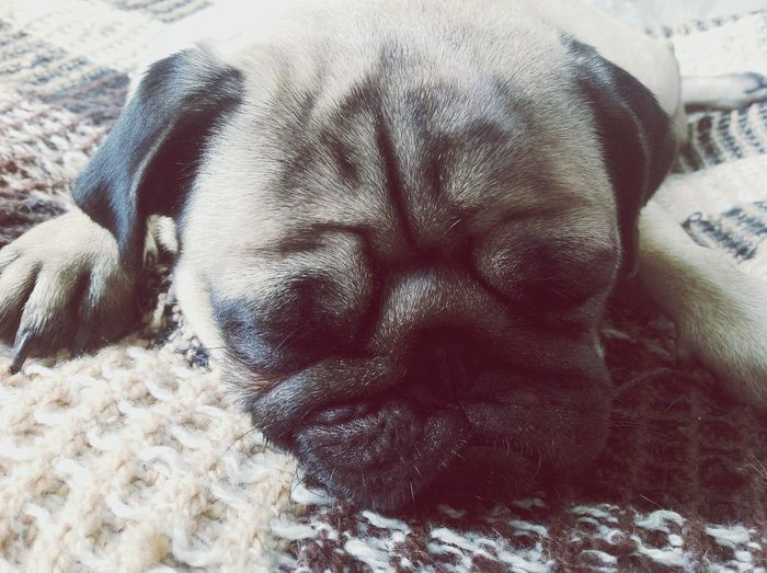 My Dog Pug Dogs Sleeping Dog #sleep
