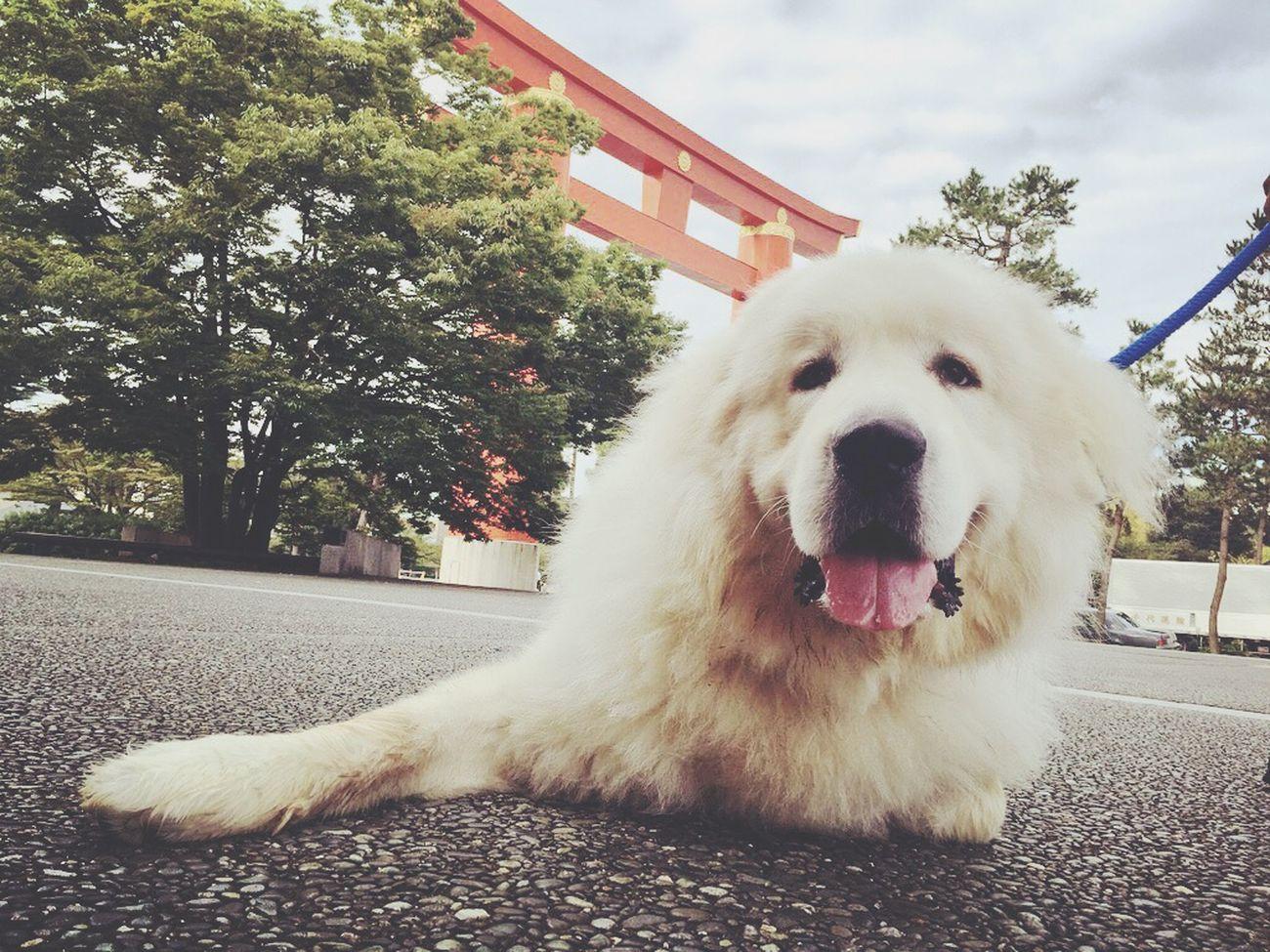 グレートピレニーズ Cute Pets Check This Out Taking Photos