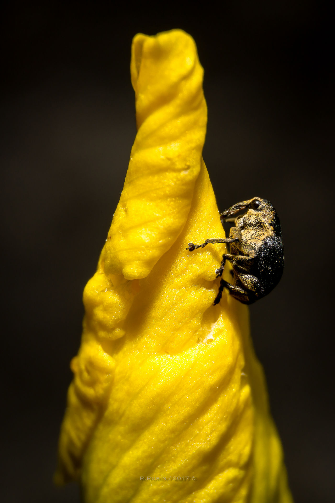 Yellow Insect No People Flower Close-up Animal Themes Black Background Nature Freshness Day Outdoors Art Is Everywhere Insect Photography Insect Macro  Macro Macrophotography Animal Beetle One Animal Plant Growth Fragility