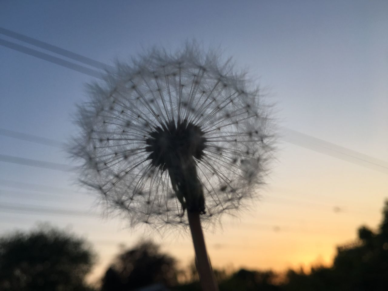 Make a wish Flower Dandelion Nature Fragility Beauty In Nature Sky Growth Low Angle View No People Outdoors Day Flower Head Sunset Close-up Freshness