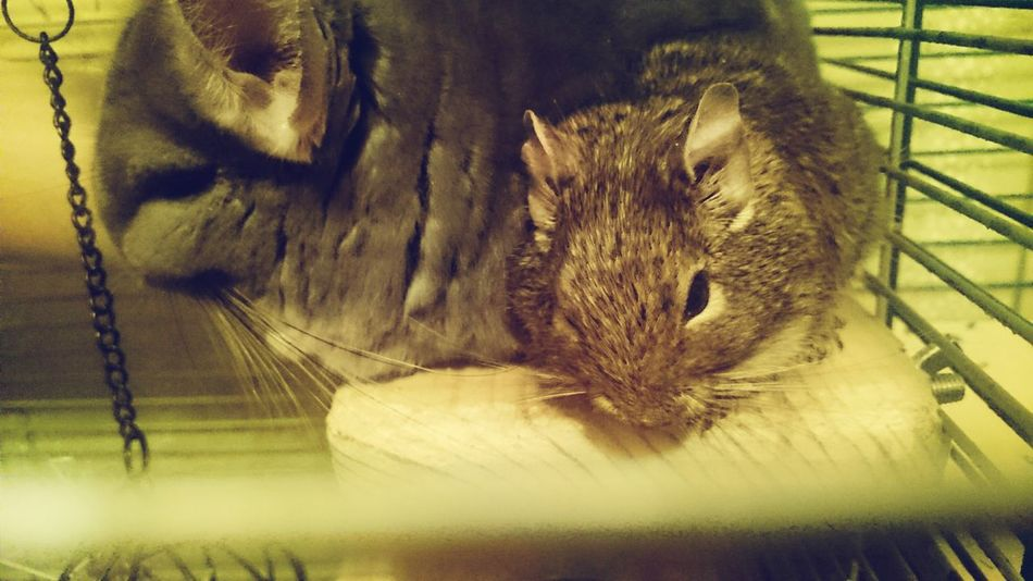 Pets Friendship Shinshilla Degus