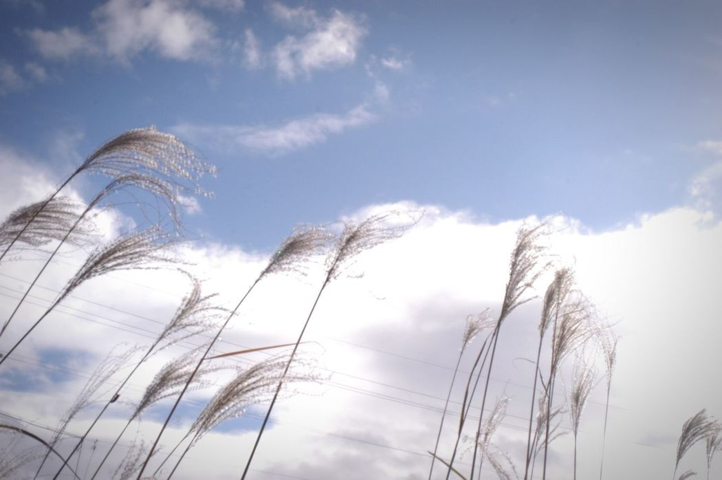 風の音を見上げる。消えてしまいそうな青。 Low Angle View Sky Cloud - Sky Nature Beauty In Nature すすき 薄 Japanese Pampas Grass